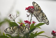 One Butterfly in Flight and one Attached to Flower