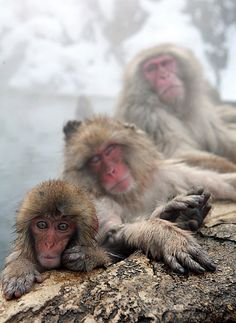 Japanese snow monkeys enjoying outdoor hot spring in Nagano, Japan: photo by Takero Kawabata