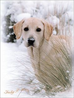 Snow Daisy - the dog loves romping in the snow.