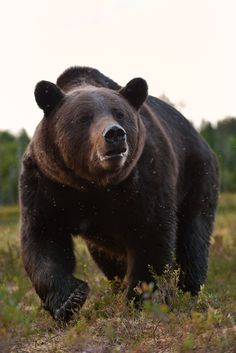 Big male bear closeup.