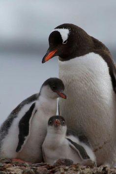 Gentoo Penguin with Chicks. :) pic.twitter.com/QhQdRakmTC