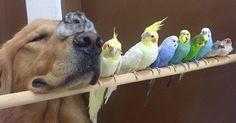 Un Golden Retriever, 8 oiseaux et 1 hamster forment une bande de copains des plus inhabituelles !