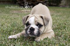 Cute Mini Aussie Bulldog Puppy