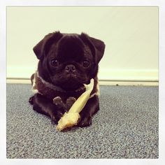 pugadise: Hard day at the office chewing my bone