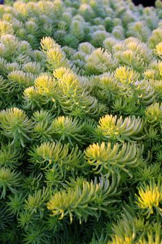 Sedum rupestre 'Angelina' | Flickr - Photo Sharing!  Native Sons Wholesale Nursery, Inc. Photographer: Melissa G. Gorman