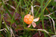 Cloudberry ( multebær) Aurland, Norway  Alice gave me multebaer jam for my birthday.