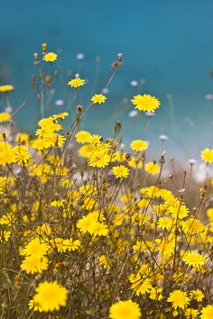 yellow daises and flowers in the wind.