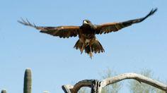 Desert Museum's raptor free flights still thrill,The Arizona-Sonora Desert Museum has added to two new birds to its popular raptor free-flight program. Arizona Birds, Sonora Desert, Tucson, Beautiful Birds, Bald Eagle, Museum, Vacation, News, Free