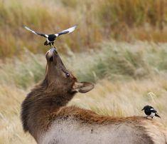 Cow Elk, Funny Animals, Cute Animals, Wild Animals, Estes Park Colorado, Interesting Animals, Magpie, Adventure Awaits, Cute Photos