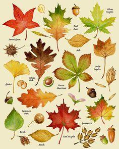 Autumn Leaves Print, Leaf rassen, soorten bladeren, zaden, herfst kleuren, oogst, Leaf grafiek, Thanksgiving, Halloween, oktober, gastvrouw