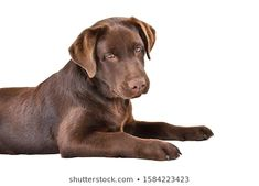 Find Curious Funny Labrador Puppy Lying Isolated stock images in HD and millions of other royalty-free stock photos, illustrations and vectors in the Shutterstock collection. Background S, Side View, Mammals, Labrador Retriever, Photo Editing, Royalty Free Stock Photos, Puppies, Pets, Funny