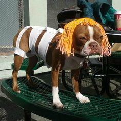 Boston Terrier giving  Milla Jovovich aka  LeeLoo a run for her money.  ((giggle))