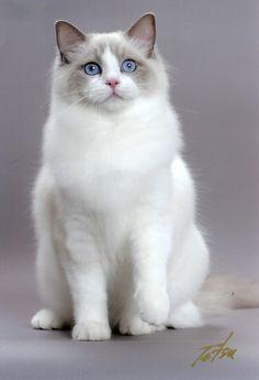 """There are no ordinary cats."" --Colette Ragdoll -"
