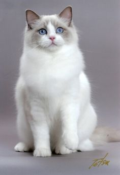 "Ragdoll cat is a cat breed with blue eyes and a distinct colorpoint coat. It is a large and muscular semi-longhair cat with a soft and silky coat. It is best known for its docile and placid temperament and affectionate nature. The name ""Ragdoll"" is derived from the tendency of individuals from the original breeding stock to go limp and relaxed when picked up."