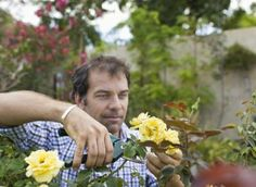 The Height to Trim Knock Out Roses