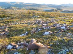 More than 300 wild reindeer have been killed by lighting in central Norway in…