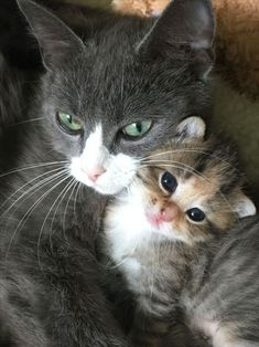 mom - your daily dose of funny cats - cute kittens - pet memes - pets in clothes - kitty breeds - sweet animal pictures - perfect photos for cat moms Cute Cats And Kittens, I Love Cats, Crazy Cats, Cool Cats, Kittens Cutest, Kittens Playing, Pretty Cats, Beautiful Cats, Animals Beautiful