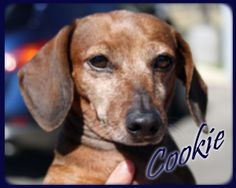 Cookie is available for adoption at www.ddrtx.org