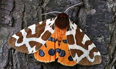 The tiger, one of Britain's most colourful moths. Photograph: Andrzej Tokarski /Alamy.