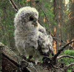 Strix uralensis-chick - フクロウ - Wikipedia