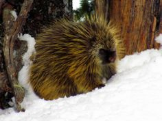 A prickly resident at Mt. Rainier National Park.