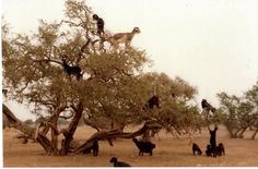 goats in trees, damn hippies