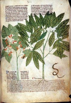Graines of Paradise [Melegueta Pepper], and Nux Vomica, 1280-1310, Tractatus de herbis, Italy, S. (Salerno), British Library, Egerton 747  f. 68