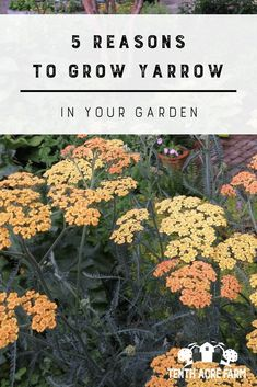Potager Garden 5 Reasons to grow Yarrow: Yarrow is a flowering herb with many uses medicinally and in the permaculture garden. Here are 5 reasons why you will benefit from growing yarrow. Potager Garden, Permaculture Garden, Garden Landscaping, Herbs Garden, Herb Plants, Tomato Plants, Fruit Garden, Edible Garden, Gardening For Beginners
