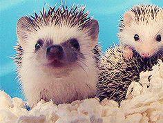 hedgehogs   Tumblr