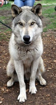 wolf dog Id like to rescue but Im not sure how Xena will react. Big Dogs, Cute Dogs, Dogs And Puppies, Animals And Pets, Funny Animals, Cute Animals, Beautiful Wolves, Animals Beautiful, Wolf Hybrid Dogs