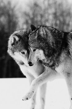 Two wolves in love Wolf Photos, Wolf Pictures, Beautiful Wolves, Animals Beautiful, Wolves In Love, Two Wolves, Wolf Mates, Animals And Pets, Cute Animals