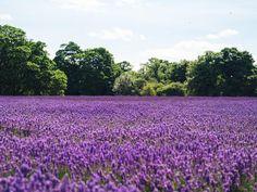 💡 Lavender fields flowers purple - download photo at Avopix.com for free    👉 https://avopix.com/photo/37183-lavender-fields-flowers-purple    #purple #flower #flowers #garden #plant #avopix #free #photos #public #domain