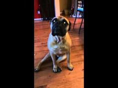 Bullmastiff dog rats out his French Bulldog friend for chewing up all the toilet paper. | Real Funny