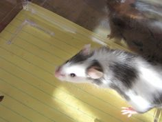 I'd really love a pet mouse....or 2 so that the first one wouldn't get lonely.... :)