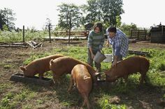 Whether you're raising pigs for your own family's consumption or sell the meat to other customers, knowing how to fatten up a pig is key. Urban Survival, Wilderness Survival, Pigs Eating, Small House Living, Protein Supplements, Homesteading, Raising, Tips, Grid