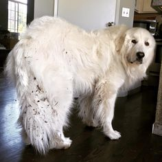 From training to grooming to understand breed traits and standards, we have everything you need to know about Great Pyrenees. Pyrenees Puppies, Great Pyrenees Dog, Baby Puppies, Dogs And Puppies, Doggies, Giant Dogs, Big Dogs, Terra Nova, Dog Safety