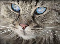 Immagine gratis su Pixabay - Cat, Animale, Ritratto Di Gatto