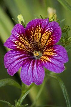 Salpiglossis | Flickr - Photo Sharing! #beautifulflowersnature