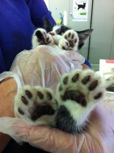 dozhub posted a photo: This kitten has too many toeses! - This kitten has too many toeses! – Cats, kittens and kittys, cute and adorable! (via - via Cats, kittens and kittys, cute and adorable! Grumpy Cat Meme, Cat Memes, Funny Memes, Funny Pics, Funniest Jokes, Funny Cartoons, Funny Videos, Funny Pictures, Hilarious