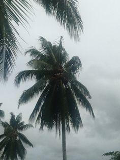 Swaying coconut palm tree, near Lorengau Market