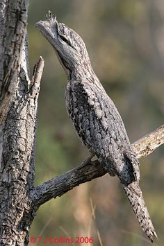 A Tawny Frog Mouth bird demonstrating the elongated posture it uses to imitate a tree branch if disturbed during the day. Photo by T.J. Collins