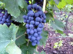 grappoli di uva Syrah sull'Etna