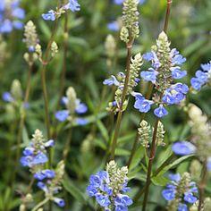 Planté en 2012, au sud est salvia uliginosa ou sauge arbustive des marais bleue godet 8cm - JARDIPLANTE
