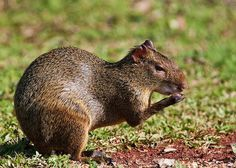 Another unusual rodent, the agouti, is related to guinea pigs. They measure about 20 inches and their natural habitats are rain-forests and ...