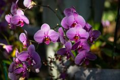 A Joy To Grow:  Phalaenopsis orchids