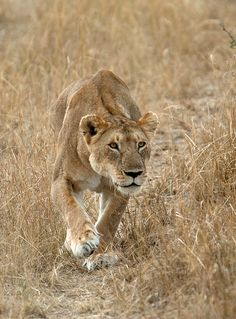 Africa | Lioness.  Maasai Mara National Park, Kenya | ©Guido Aldi