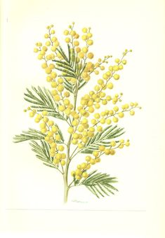 acacia flower, silver wattle, mimosa Meaning: friendship