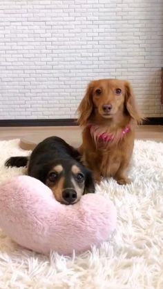 Cute Puppies Images, Cute Puppy Pictures, Funny Dog Pictures, Cute Animal Pictures, Puppy Images, Dapple Dachshund, Dachshund Puppies, Long Haired Dachshund, Dachshunds