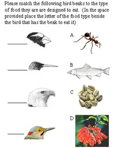 beaks to eats. A bird beak shape tells what it eats.