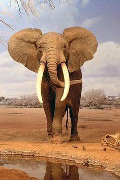 African Elephants ear actually radiate heat to keep cool.